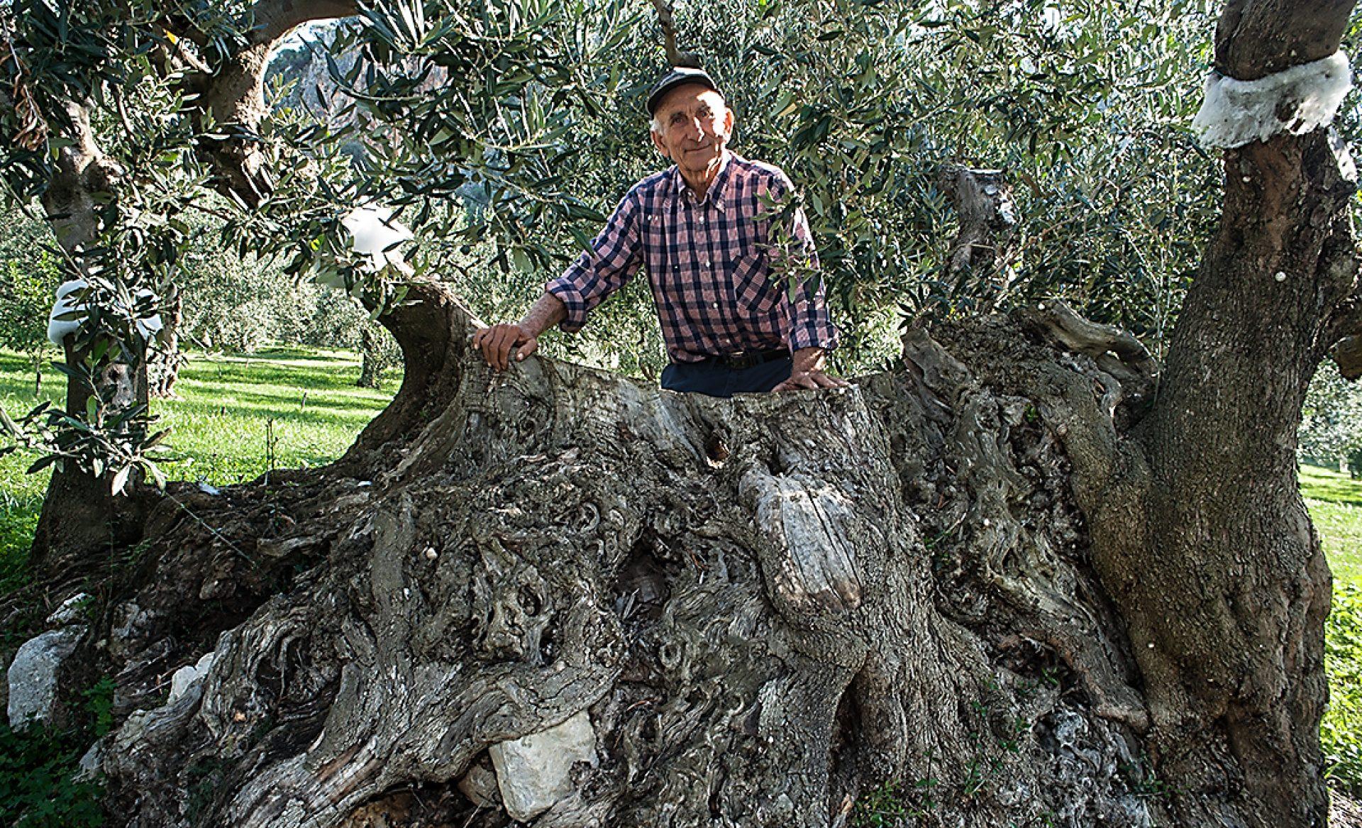 valdibella-ulivo-centenario